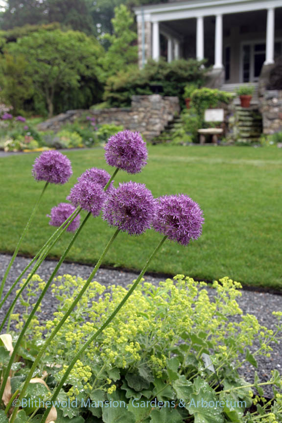 Allium 'Pinball Wizard' in the North Garden
