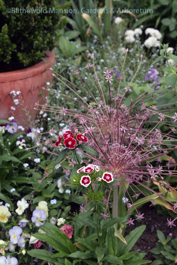 Allium shubertii and sweet william (Dianthus barbatus 'Holborn Glory' in the Rose Garden