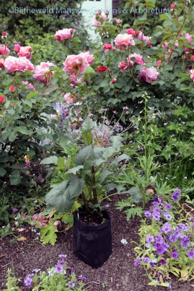 Dahlia placed for planting in the Rose Garden