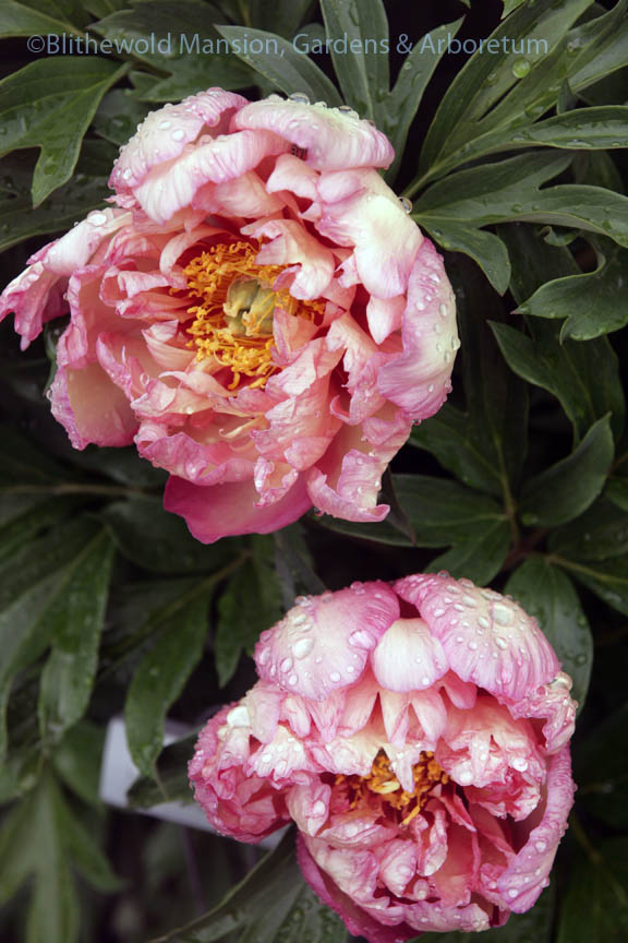 Intersectional or Itoh peony 'Kopper Kettle' in the rain