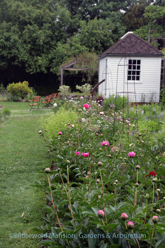 The peony row in the Cutting Garden