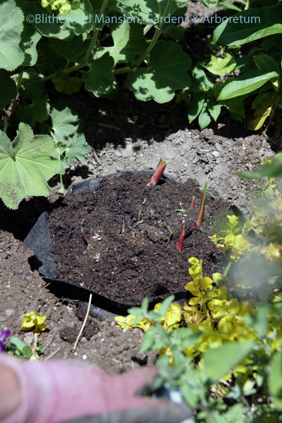 Planting glads potted in a Root Pouch