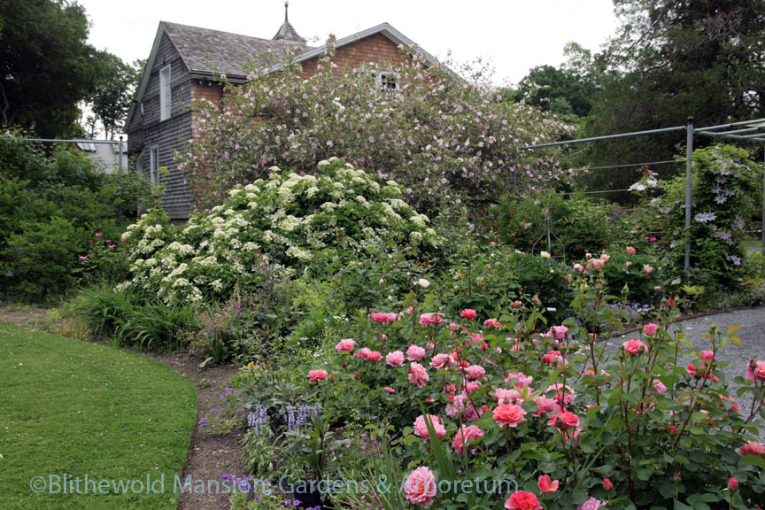 Chestnut rose, climbing hydrangea and Rosa 'Lilian Austin' in the Rose Garden