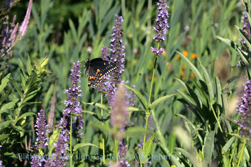 Black swallowtail on Agastache 'Black Adder'
