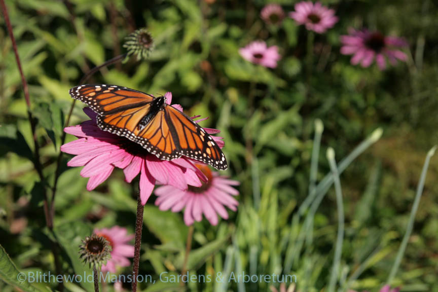 First monarch butterfly sighting!