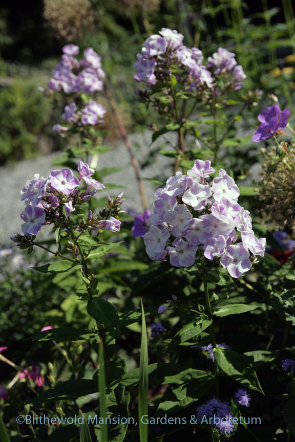 Phlox paniculata 'Katherine' in the North Garden