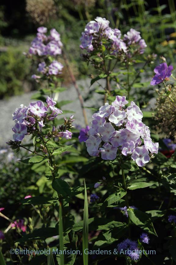 Phlox paniculata 'Katherine' in the North Garden