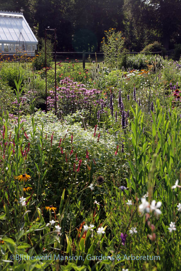 Pollinator Garden view of gaura, Persicaria amplexicaulis 'Firetail', mountain mint, Agastache 'Black Adder', and Monarda fistulosa 'Claire Grace'