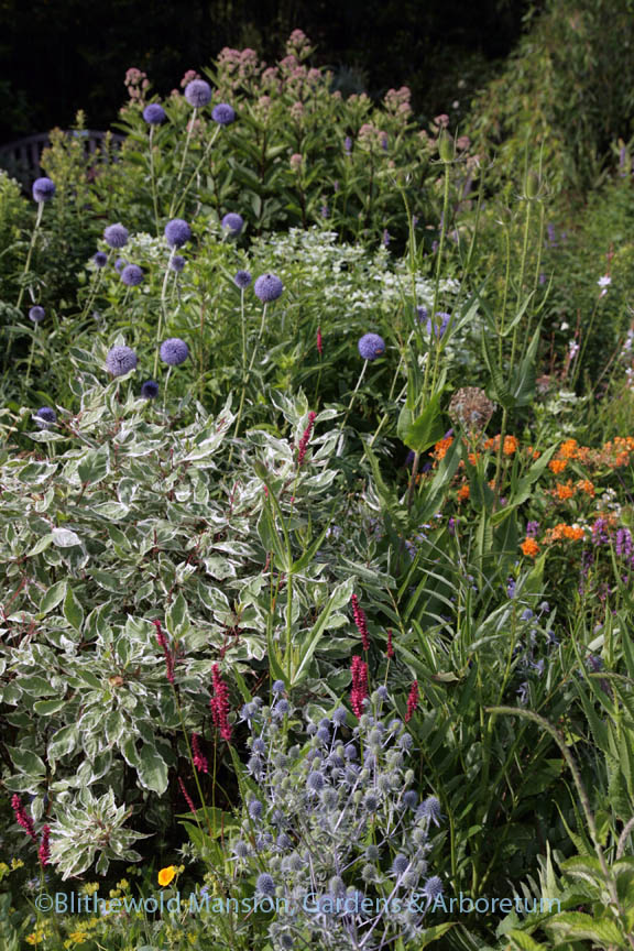 Mid-summer combo of sea holly, persicaria, teasel, red-twig dogwood, butterfly weed, echinops, and Joe Pye in the pollinator bed