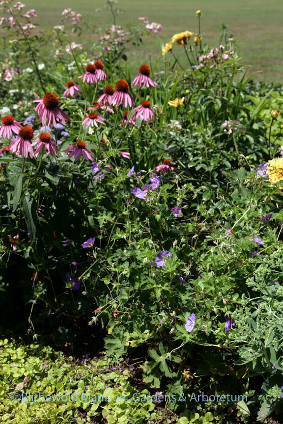 Geranium 'Rozanne' and Echinacea purpurea after fine tuning