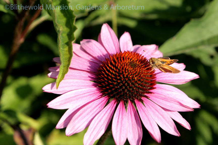 Skipper moth on Echinacea purpurea