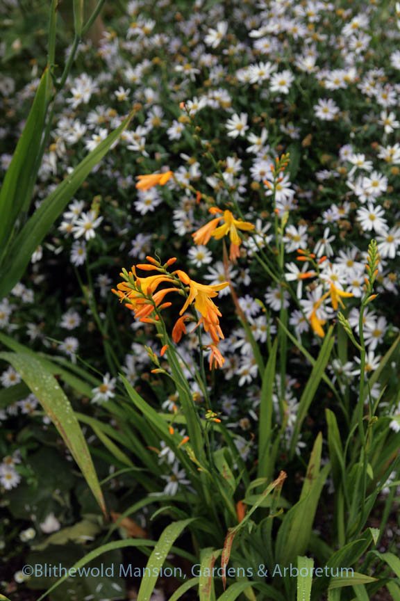 Crocosmia 'George Davison' and Kalimeris incisa 'Blue Star'