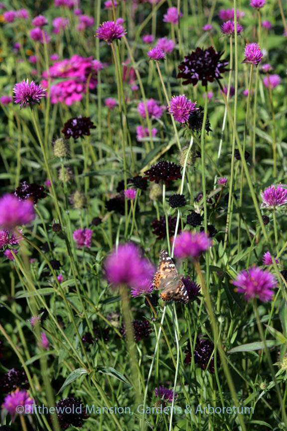 Painted lady butterfly on Gomphrena 'Fireworks' with Scabiosa 'Black Knight'