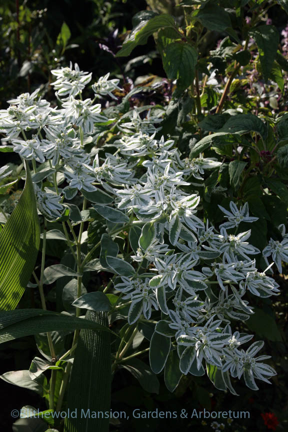 Euphorbia marginata or snow-on-the-mountain. A self-sower in the Cutting Garden