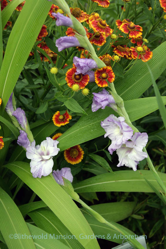 Gladiolus 'Caribbean' and Helenium autumnale 'Can Can'