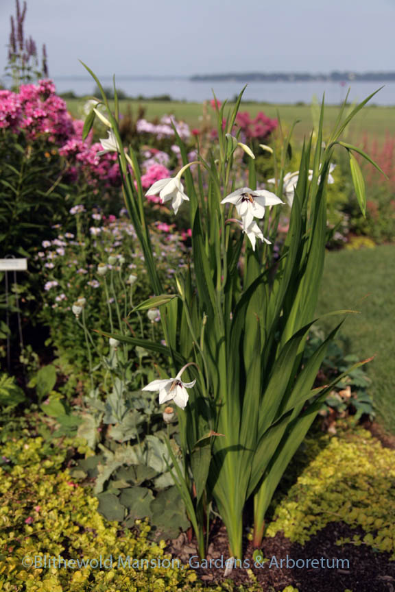 Gladiolus murielae (Acidanthera) starting to bloom in the North Garden