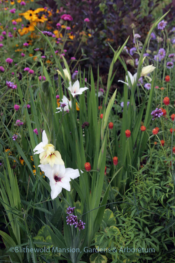 Gladiolus 'Lucky Star' in the Cutting Garden