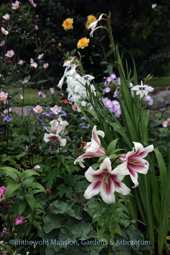Lilium 'Altari' and G. murielae in the North Garden