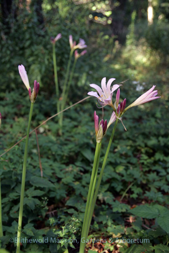 Lycoris squamigera - Resurrection lily in the Bosquet