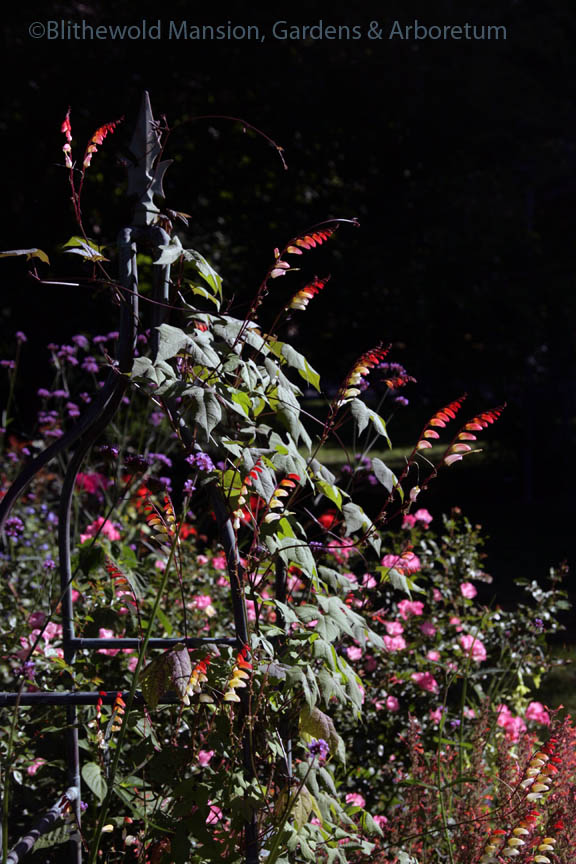 Mina (Ipomoea) lobata in the Rose Garden
