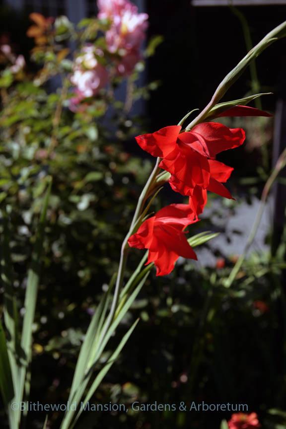 Gladiolus primulinus 'Mirella' in the Rose Garden