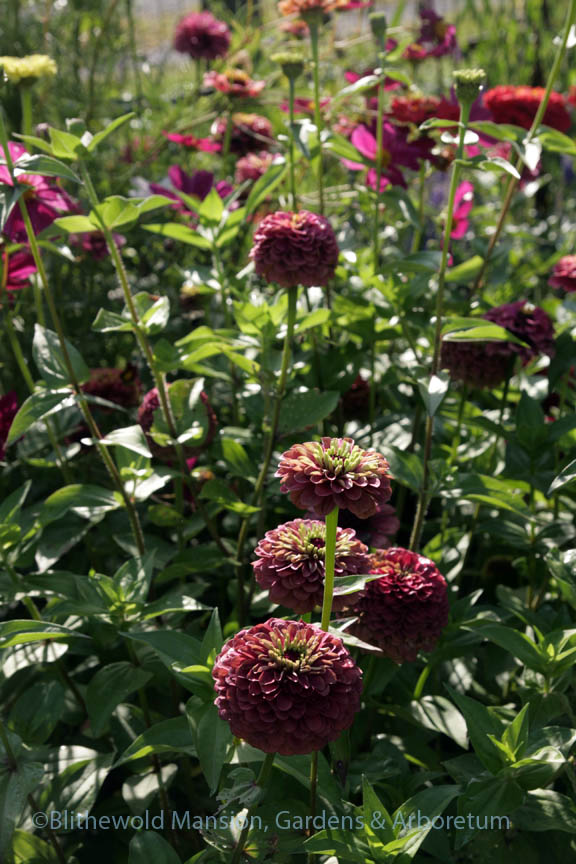 Zinnia 'Queen Red Lime' in the Cutting Garden