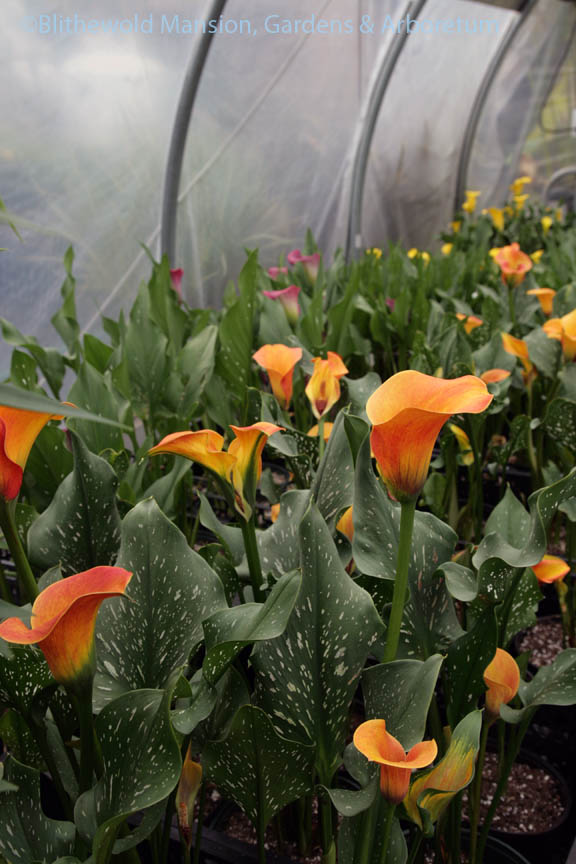 An endless succession of Calla lilies at Robin Hollow Farm