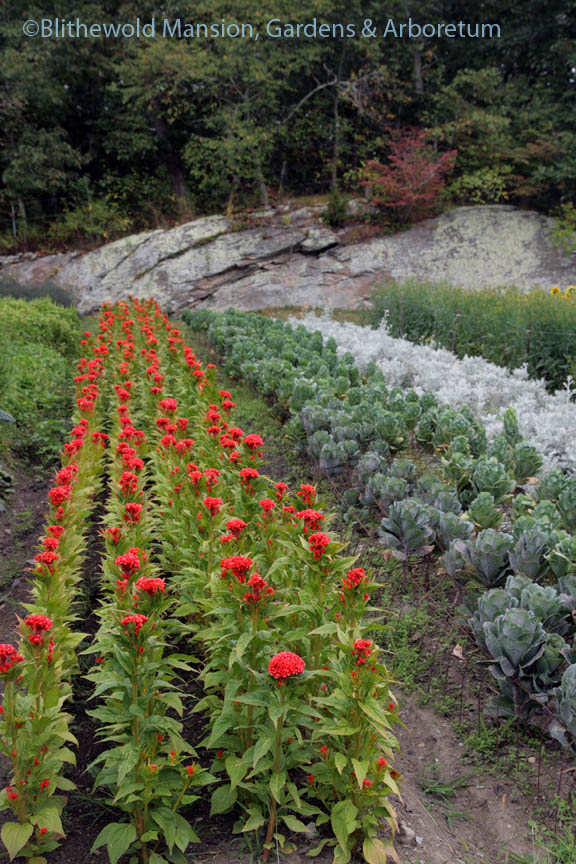 A row of Celosia in the hollow at Robin Hollow Farm