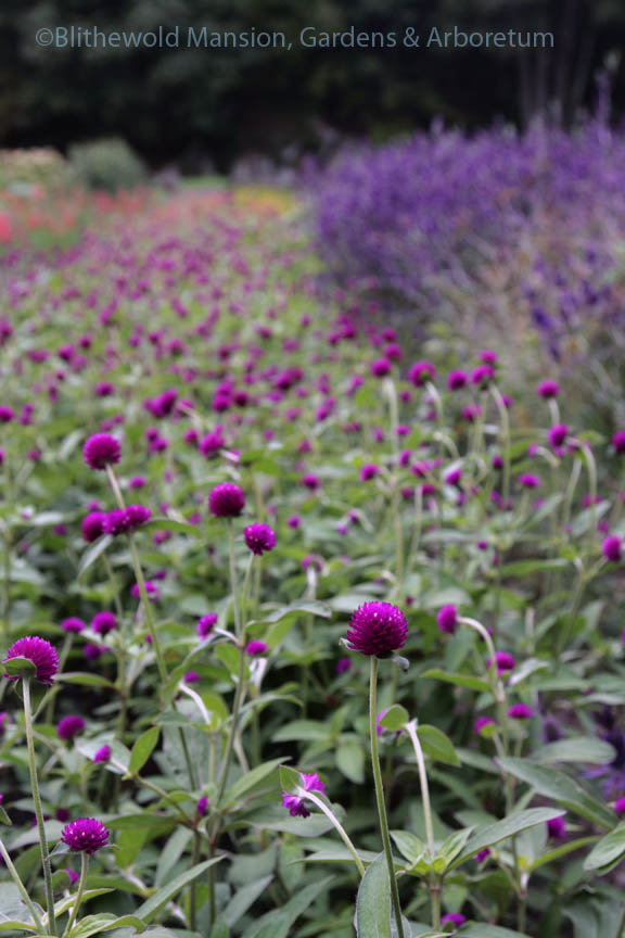 Globe amaranth (Gomphrena globosa) at Robin Hollow Farm