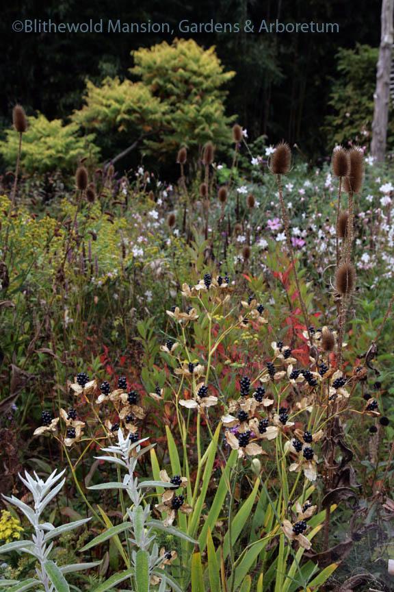 Blackberry lily (Iris domestica/Belamcanda chinensis) seedheads and teasel