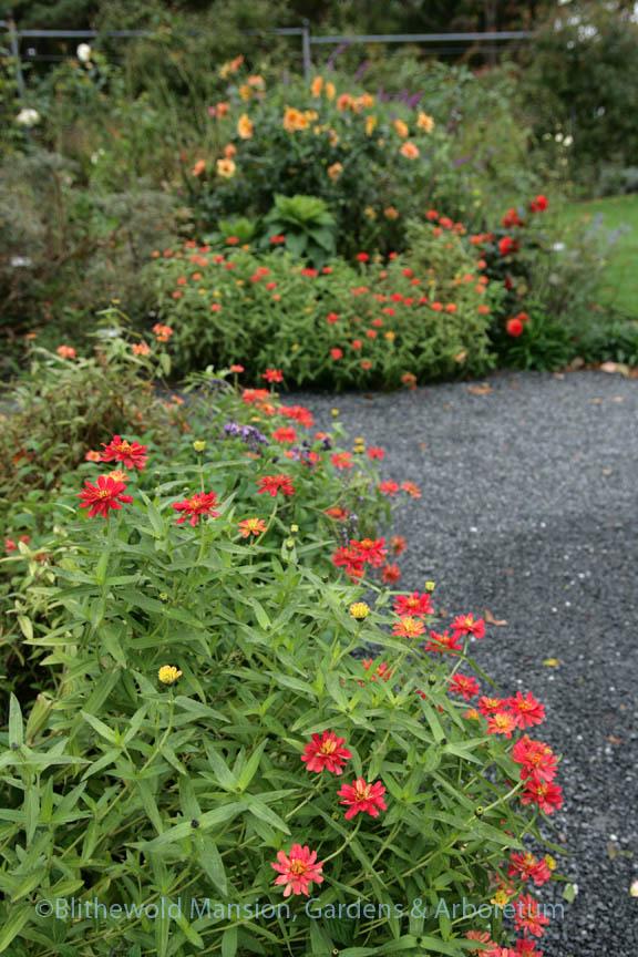Saying goodbye to the Rose Garden's orange zinnias