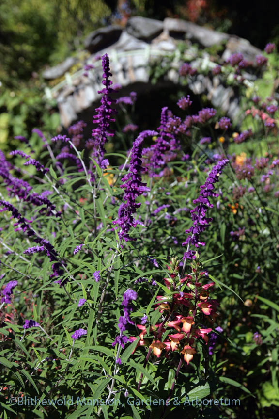 Salvia leucantha 'Cislano' just started blooming