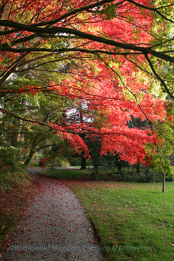 Japanese maple (Acer palmatum) canopy over the Enclosed Garden path