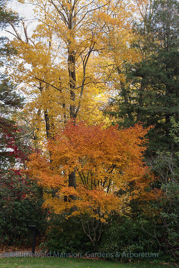 Acer palmatum 'Hogyoku' and a Norway maple