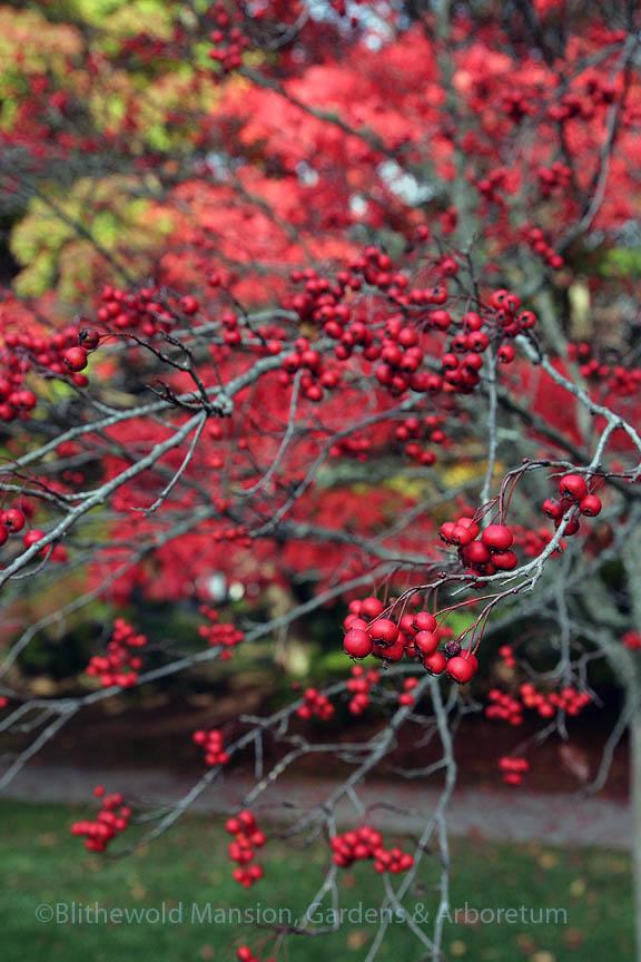 Winter King hawthorn (Crataegus viridis 'Winter King') in the Enclosed Garden