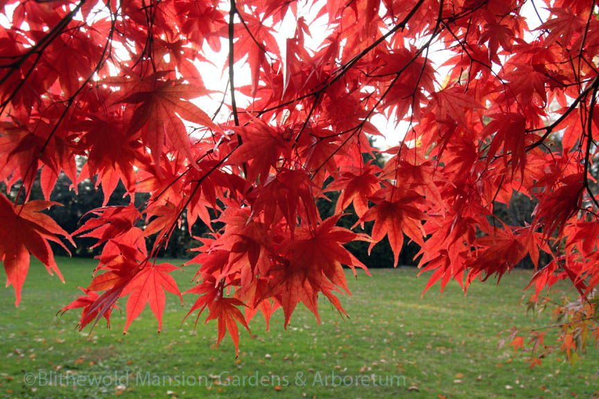 Acer palmatum detail from the Enclosed Garden