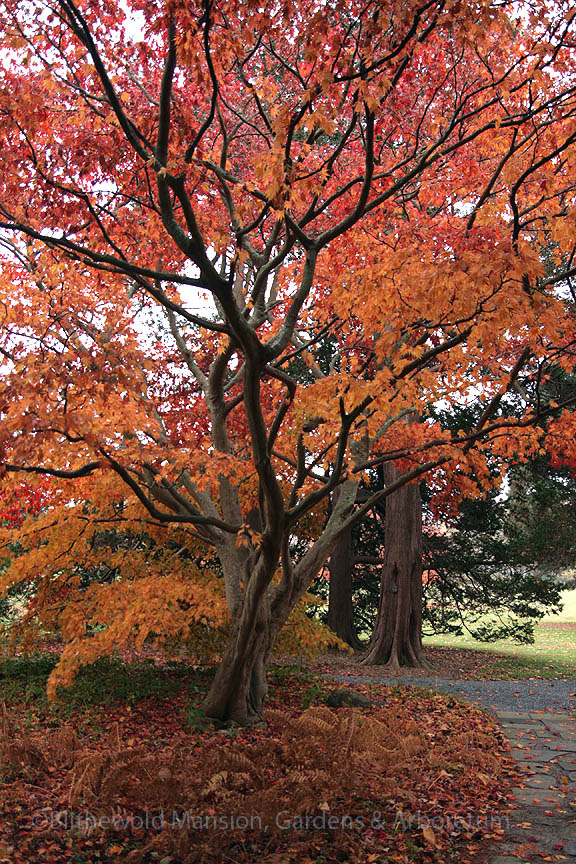 Acer palmatum along the path to the Water Garden