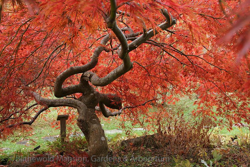 underskirts of Acer palmatum var. dissectum in the Rock Garden