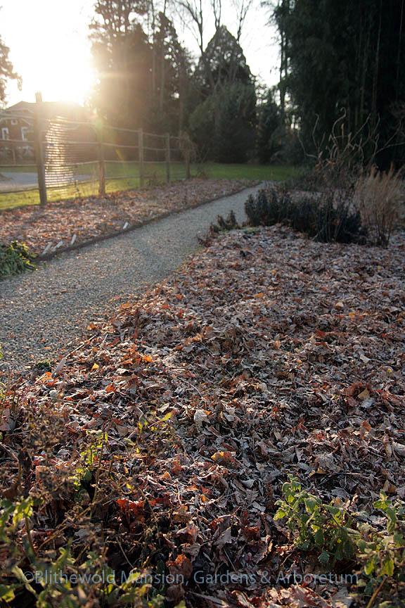 Cutting Garden under frosty shredded leaves