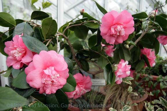 Camellia japonica 'Chandleri Elegans Variegated'