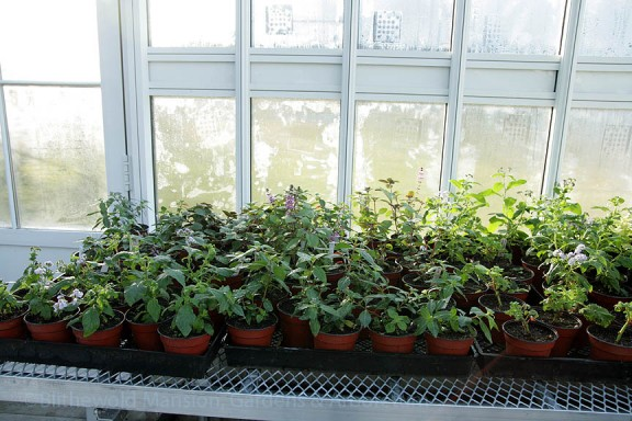 Fall cuttings of heliotrope, basil, and cuphea spend the winter resting.