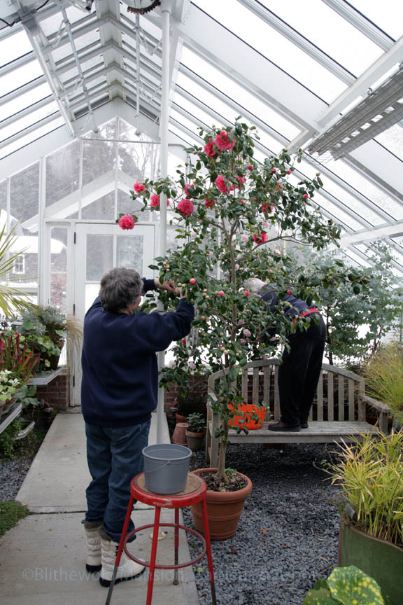 Libby and Dianne cleaned scale and sooty mold off the camellias while it snowed -again- outside.