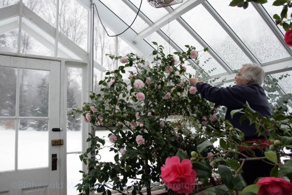 Dianne cleaning Camellia 'Debutante'