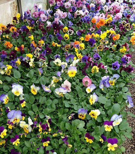 Peckham's Greenhouse pansies