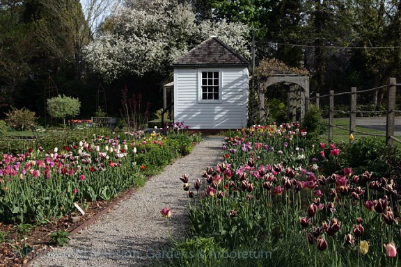 Tulip trials in the Cutting Garden