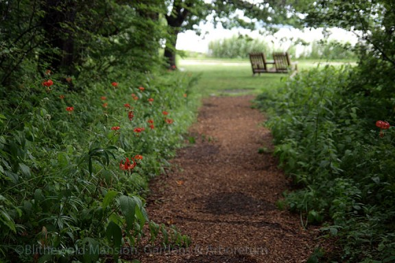 Turkscap lilies, 7-27-15