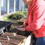 Volunteer Diane Whitehead gently pressing the seeds into place