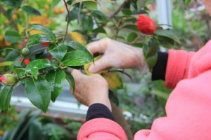 One of our volunteers patiently washing the camellia leaves