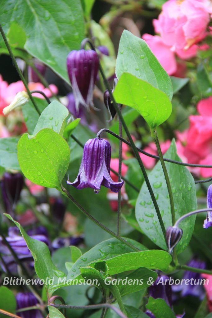 clematis integrifolia rooguchi bing images. Black Bedroom Furniture Sets. Home Design Ideas