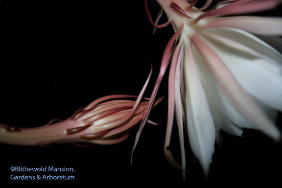 Night Blooming Cereus Blithewold